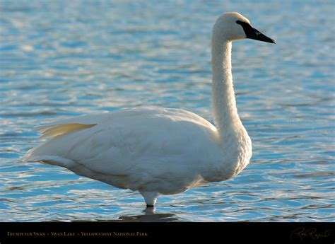 Mute Swans, Black Swans, Trumpeter Swans and Tundra Swans