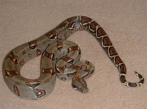 Favourit Boa Constrictor - Reptile Forums