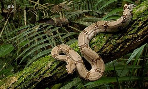 Red-Tailed Boa Facts and Pictures | Reptile Fact