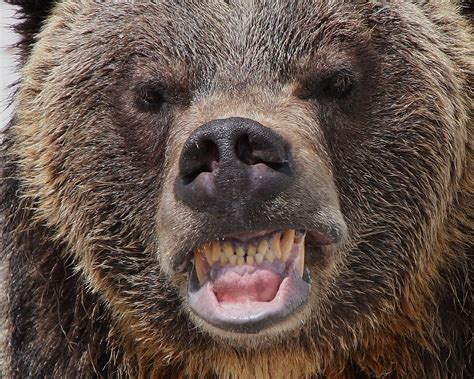 An Angry Grizzly   jscott7357   Flickr