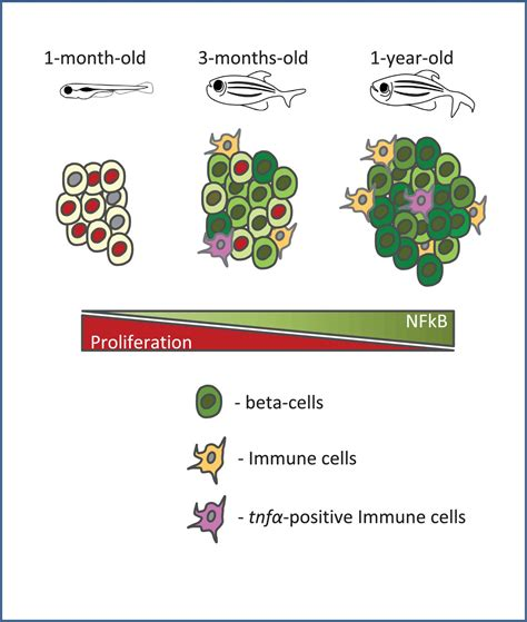 Age-related islet inflammation marks the proliferative